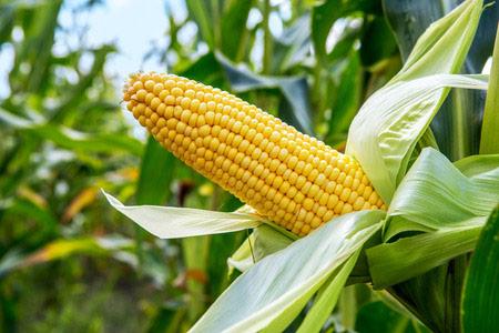 Kansas Syngenta GMO Corn Lawsuit