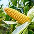 Syngenta corn lawsuit thumbnail
